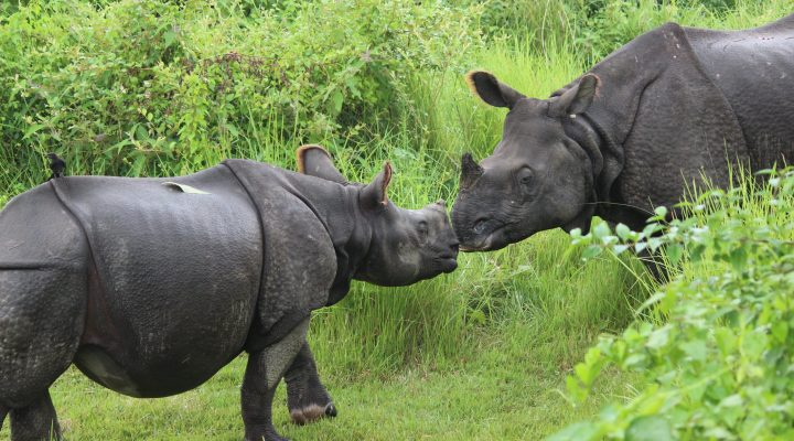 Rhinoceros mother and calf, Chitwan, Nepal